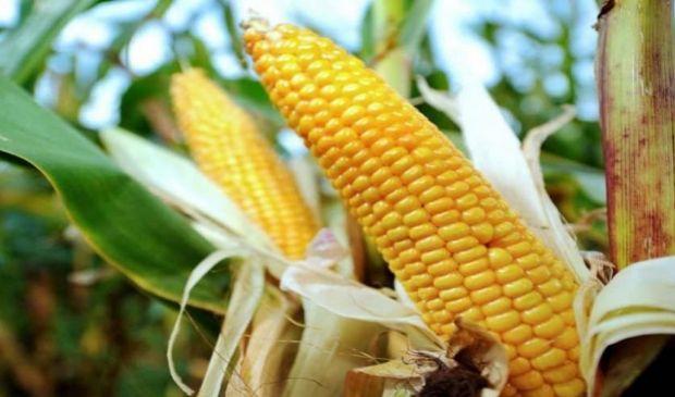 Agricoltura, OGM: da studio Ue emerge che servono nuove norme