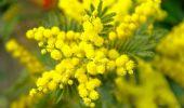 Festa della donna: perché si regalano mimose? La tradizione italiana