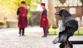 Torre di Londra, sparito il corvo Merlina: si teme ora la profezia