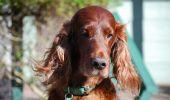 Celiachia, anche i cani ne soffrono. Come riconoscerla e cosa fare